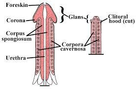 de anatomie van de penis